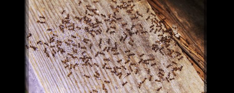 Ants Control Leichhardt